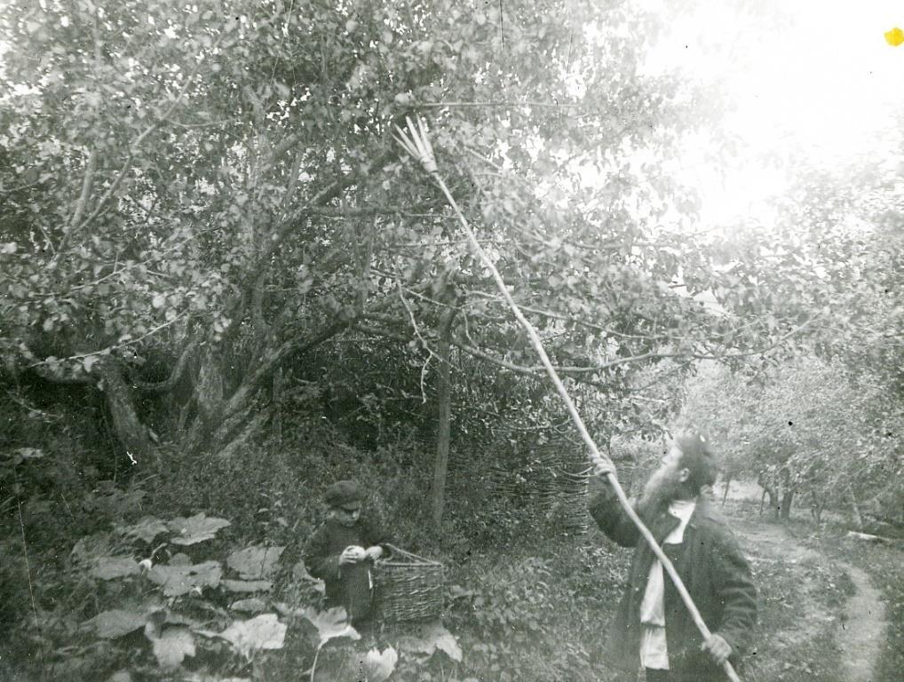 Сбор яблок. 1925-1927 гг. Русские. Фотоархив РЭМ.